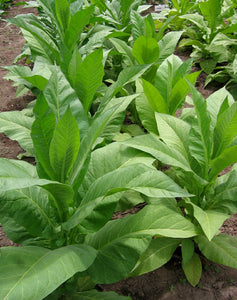 Brown & Williams Low Nic Tobacco Seeds