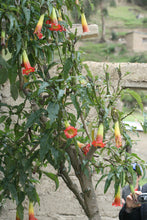 Load image into Gallery viewer, 10 Brugmansia sanguinea Seeds - Scarlet Angel Trumpet - Eagle Tree