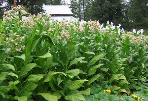 Costello Tobacco Seeds - Nicotiana Tabacum
