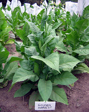 Load image into Gallery viewer, Golden Harvest Tobacco Seeds - Nicotiana tabacum