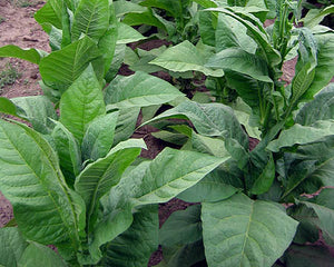 Golden Harvest Tobacco Seeds - Nicotiana tabacum