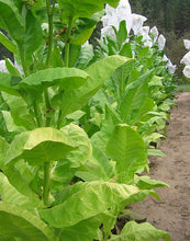 Load image into Gallery viewer, Havana Z299 Tobacco Seeds - Nicotiana Tabacum