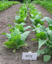 Load image into Gallery viewer, Kentucky 17 Tobacco Seeds - Nicotiana tabacum