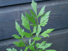 Load image into Gallery viewer, 500 Lovage Seeds - Levisticum officinale
