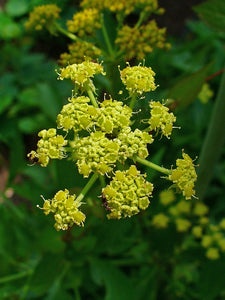 500 Lovage Seeds - Levisticum officinale