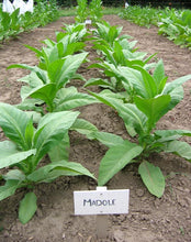 Load image into Gallery viewer, Madole Tobacco Seeds - Nicotiana tabacum