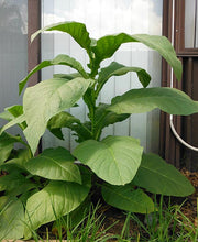 Load image into Gallery viewer, Silk Leaf Tobacco Seeds - Nicotiana tabacum