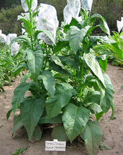 Load image into Gallery viewer, Small Stalk Black Mammoth Tobacco Seeds - Nicotiana tabacum