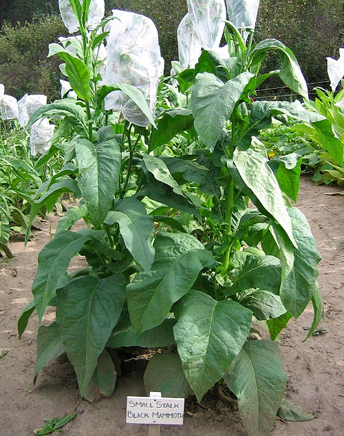 Small Stalk Black Mammoth Tobacco Seeds - Nicotiana tabacum
