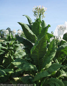 Virginia Gold Tobacco Seeds - Nicotiana tabacum
