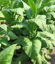 Load image into Gallery viewer, Yellow Gold Tobacco Seeds - Nicotiana tabacum