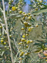 Load image into Gallery viewer, 500 Artemisia Absinthium Seeds - Absinthe Wormwood