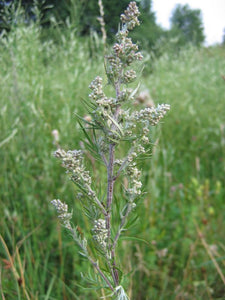1000 Artemisia Vulgaris Seeds - Mugwort / Common Wormwood