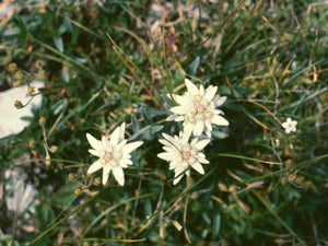 500 Leontopodium alpinum Seeds - Edelweiss Seeds