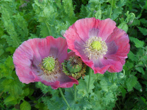 Hen And Chicks Poppy Seeds - Peony Poppy