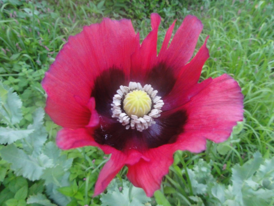 Pepperbox Poppy