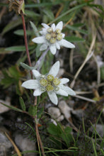 Load image into Gallery viewer, 500 Leontopodium alpinum Seeds - Edelweiss Seeds