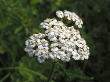 Load image into Gallery viewer, White Yarrow Seeds - Achillea millefolium