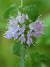 Load image into Gallery viewer, 250 Pennyroyal Seeds - Mentha Pulegium