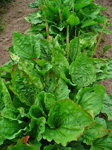 Greater Plantain Seeds - Plantago major - Broadleaf Plantain