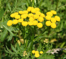 Load image into Gallery viewer, 1000 Tansy Seeds - Tanacetum vulgare - Perennial Flower Seeds