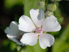 Load image into Gallery viewer, Marshmallow Plant Seeds - Althaea officinalis