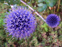 Load image into Gallery viewer, Echinops ritro Seeds - Globe Thistle