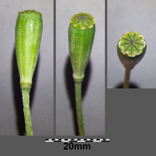 Load image into Gallery viewer, Long Pod Poppy - Papaver Dubium