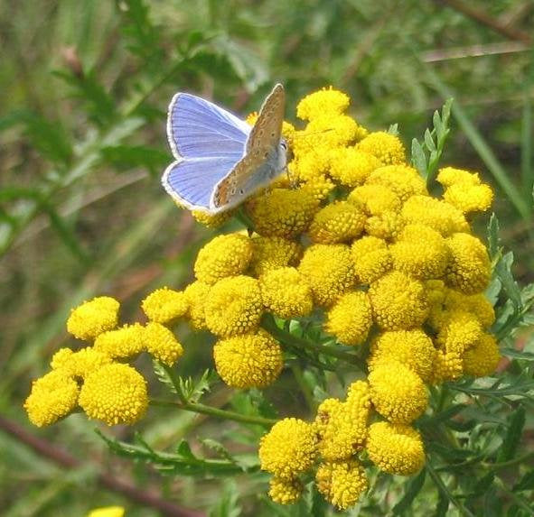 1000 Tansy Seeds - Tanacetum vulgare - Perennial Flower Seeds