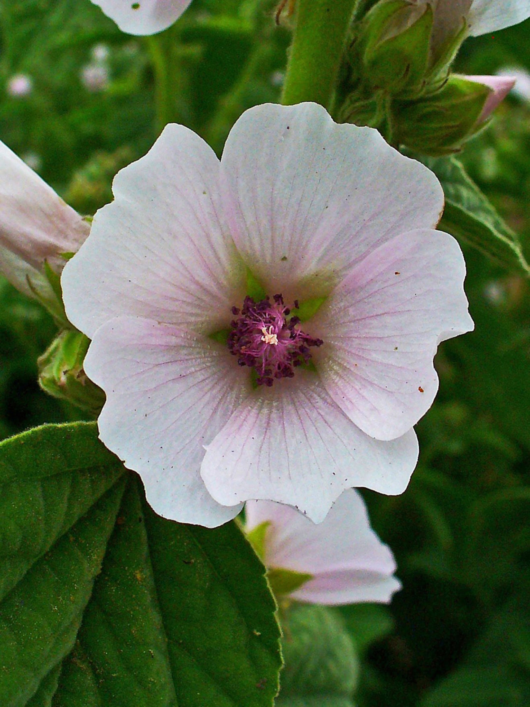 Marshmallow Plant Seeds - Althaea officinalis
