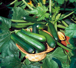 50 Black Beauty Zucchini Seeds
