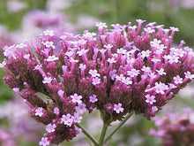 Load image into Gallery viewer, 175 Vervain Seeds - Verbena bonariensis