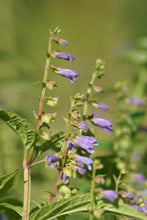 Load image into Gallery viewer, Scutellaria lateriflora seeds - Blue Skullcap - Mad Dog Skullcap - Scullcap