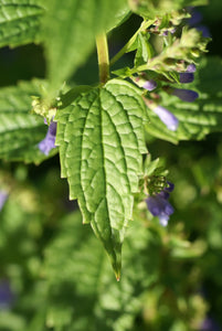 Scutellaria lateriflora seeds - Blue Skullcap - Mad Dog Skullcap - Scullcap