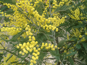 Acacia dealbata seeds - Silver Wattle Mimosa seeds