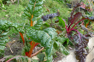 250 Rainbow Swiss Chard Seeds