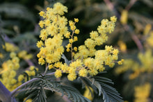 Load image into Gallery viewer, Acacia dealbata seeds - Silver Wattle Mimosa seeds