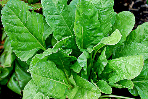 200 Bloomsdale Spinach Seeds