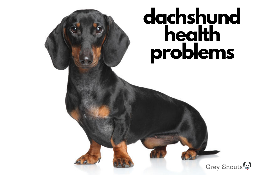 Dachshund with health problems