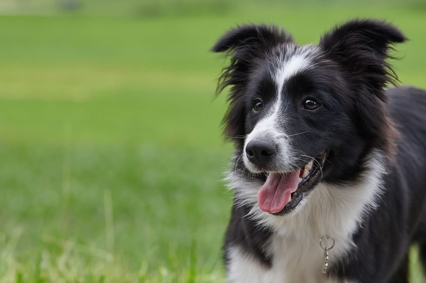 Border Collie Laying Down in Grass