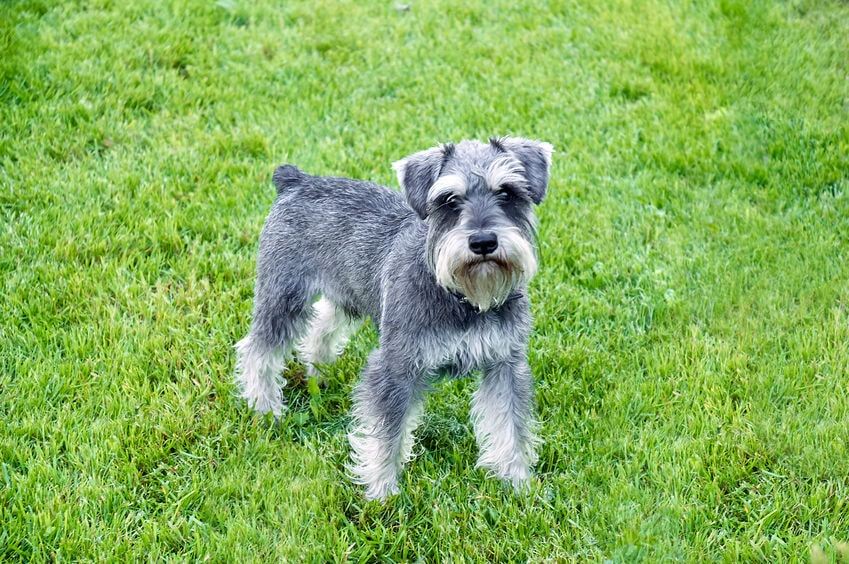 Miniature Schnauzer Health Issues