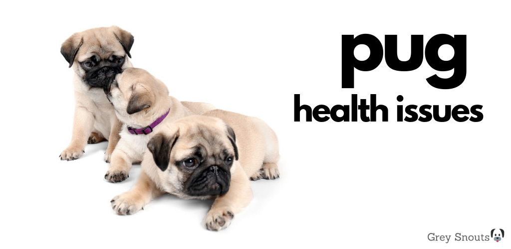 Pug Health Issues