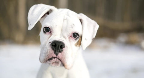 White boxers have mostly white fur, but they typically have dark noses, dark eyes