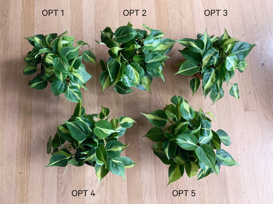 Philodendron Brasil (6