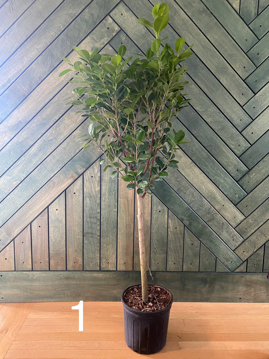 Ficus Moclame - TREE FORM (10