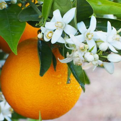 Orange Blossom Extra Rich Hand Cream 2oz.