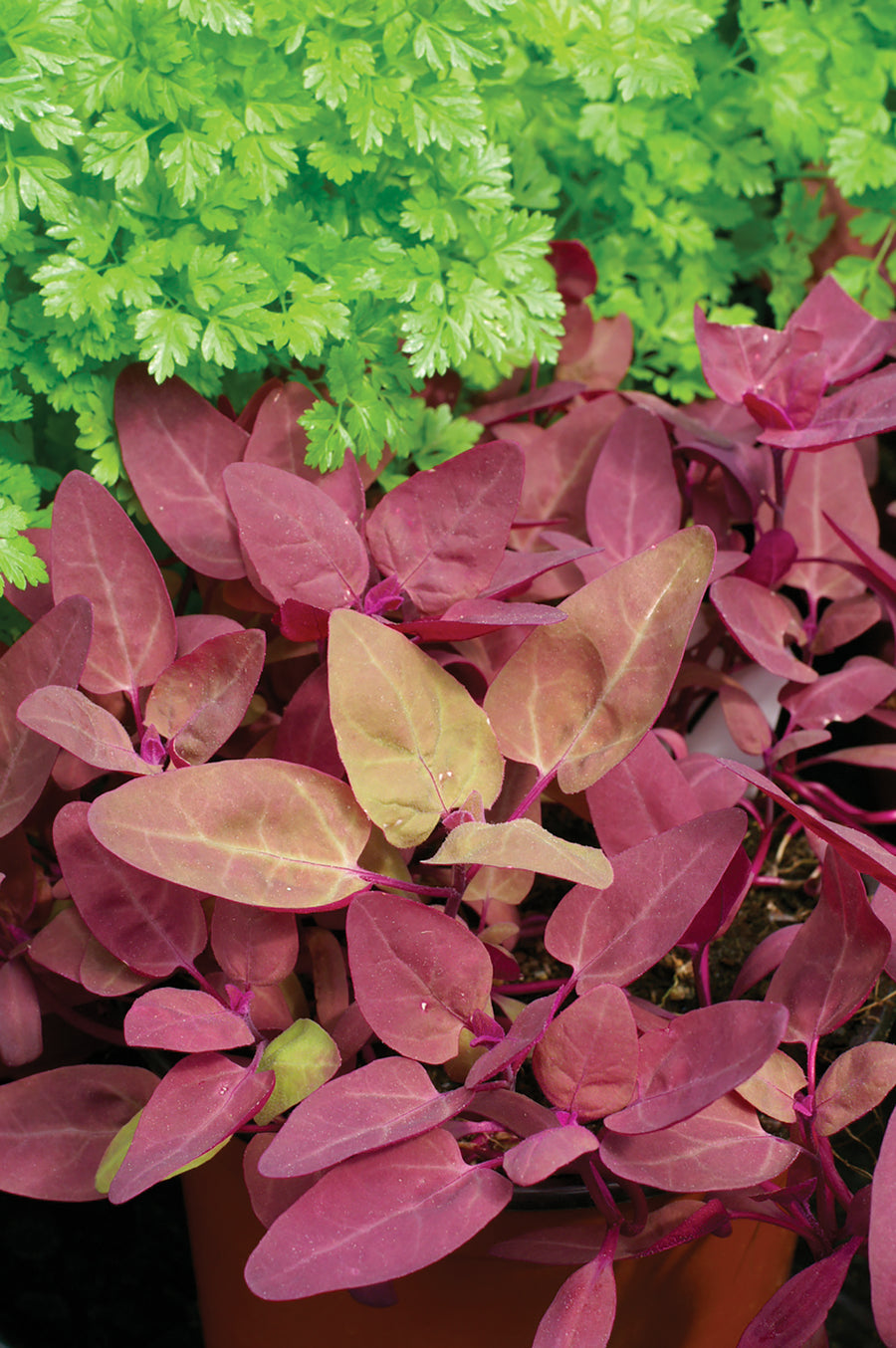 Red Flash Orach