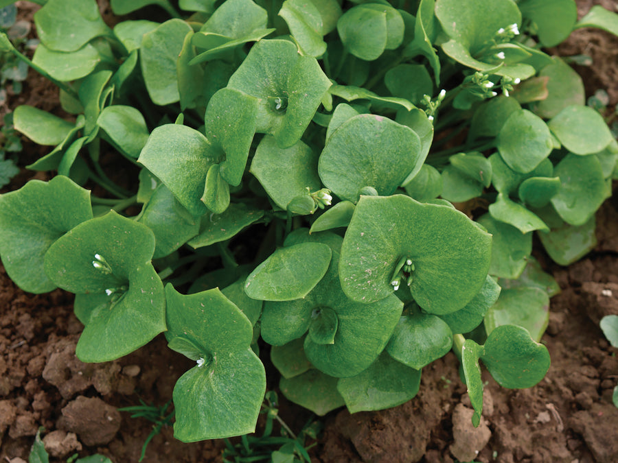 Claytonia Miners Lettuce