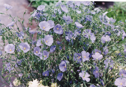 Blue Flowering Flax