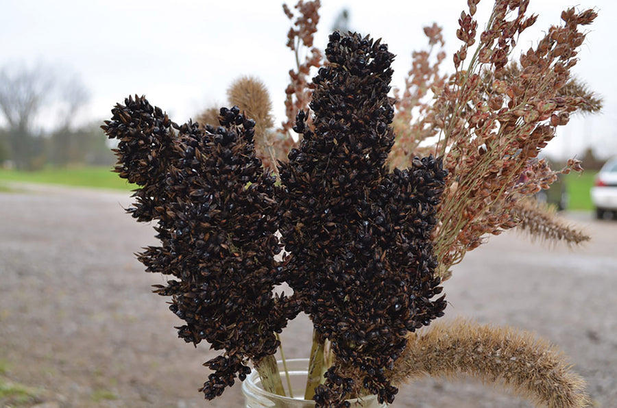 Black Broomcorn